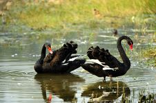 Free Black Swan Royalty Free Stock Photography - 21821097