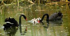 Free Black Swan Royalty Free Stock Images - 21821229