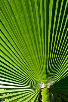 Free Closeup Palm Leaf Royalty Free Stock Photos - 21823248