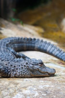 Free A Crocodile Stock Image - 21825991