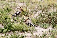 Free Two Hoopoes Swaying On Ground And Searching Food. Stock Photography - 218336752