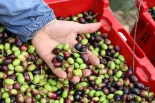 Free The Olive Harvest Stock Photo - 21840390
