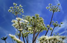 Free Pignut Plant (Comopodium Majus) Royalty Free Stock Photos - 21846238
