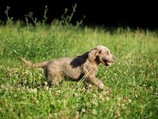 Free Hound Puppy Stock Photography - 21847032