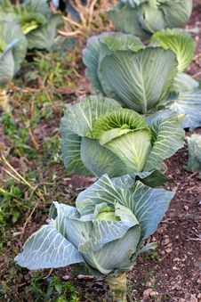 Free Cabbage Stock Photography - 21847352