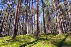 Free Coniferous Forest Stock Photo - 21854680
