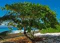 Free Caribbean Sea Grape Tree Stock Photo - 21869280