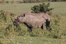 Rhinoceroses In The Masai Mara Stock Image