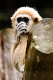 Lar Gibbon Holding Nose Royalty Free Stock Photography