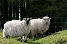 Free Two Sheep With Wooly Coats Royalty Free Stock Photography - 21862807