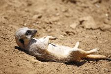 Meerkat Nap Royalty Free Stock Image