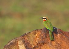 Free White Fronted Bee-eater On Rock Stock Photos - 21865623