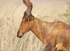 Muddy Blesbok Face Royalty Free Stock Image