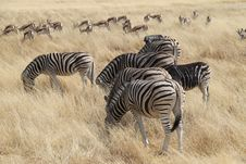Free Zebras In The Savannah Royalty Free Stock Photos - 21867268