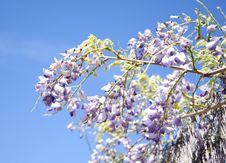 Free Wisteria Flower Royalty Free Stock Image - 21868156