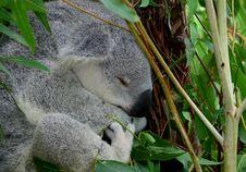 Free Grey Young Koala Stock Photo - 21869770