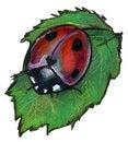 Free Ladybird Isolated On White Stock Photo - 21875470