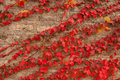 Free The The Old Wall Covered With Scarlet Red Leaves Stock Images - 21876134