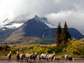Free Big Horn Sheep In A Row Stock Photography - 21879222