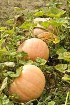 Free Big Pumpkin On The Patch. Royalty Free Stock Photo - 21870595