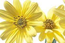 Free Yellow Daisy Royalty Free Stock Photos - 21872088