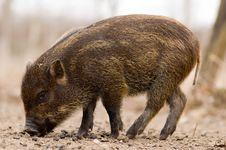 Boar - Wild Pig - Sus Scrofa Stock Photos