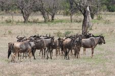 Mara Wildebeest Royalty Free Stock Photography