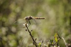 Free Dragonfly Royalty Free Stock Photo - 21876355