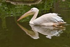 Free Great White Pelican Royalty Free Stock Images - 21880149