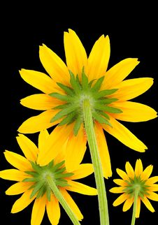 Free Yellow Flowers On Black Background Stock Images - 21883774