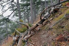Free Old Dead Tree In Foggy Forest Royalty Free Stock Photos - 21884768