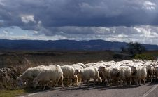 Free Sheeps On The Road. Royalty Free Stock Photography - 21886427