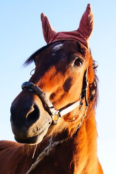 Free Horse With Bandaged Ears Royalty Free Stock Photography - 21892337