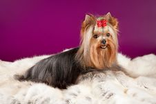 Yorkie On Deer Leather Royalty Free Stock Photo