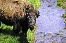 Free Buffalo Stock Photos - 21893553