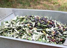 Free The Olive Harvest Royalty Free Stock Images - 21894769