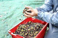 Free The Olive Harvest Stock Photography - 21897812
