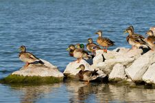 Free Wild Ducks Stock Photo - 21899370