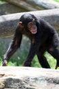 Free Chimpanzee Walking Stock Photos - 2195623