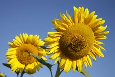 Free Sunflowers In Field Royalty Free Stock Image - 2190116