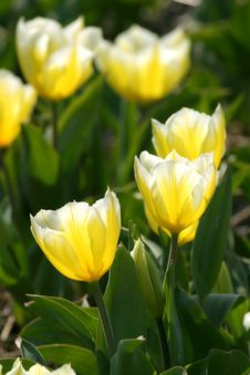 Free Yellow Tulips Stock Photo - 2193590