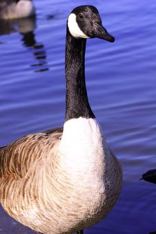 Free Canada Goose Stock Images - 2194224