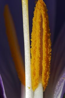 Crocus Vernus - Stamen Stock Photos