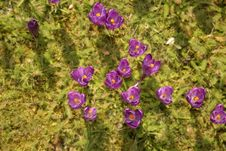 Crocus Vernus Royalty Free Stock Images