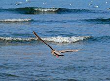 Slaty-backed Gull Royalty Free Stock Photography