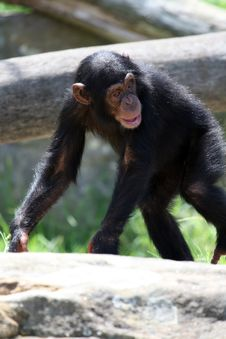 Free Chimpanzee Walking Stock Photos - 2195623