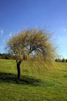 Free Big Tree In Blue Sky Stock Images - 2196594