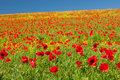 Free Poppy Field Royalty Free Stock Images - 21904379