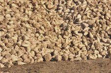 Free Heaps Of Sugar Beets Royalty Free Stock Photos - 21901458