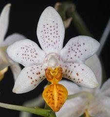 Free Orchid Phalaenopsis Hybrid Over Black Royalty Free Stock Photos - 21902718